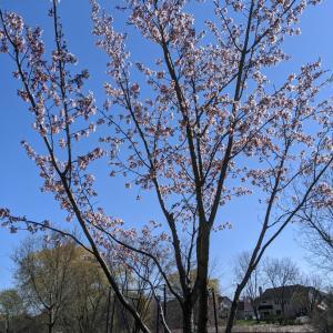種から育てた桜