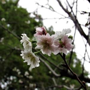 コブクザクラ(子福桜) / ジュウガツザクラ(十月桜) の花散歩