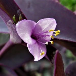 ムラサキゴテン(紫御殿) / トラデスカンティア・セブリナ の花散歩