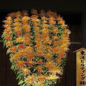 湯島天神菊祭り ・・・ 懸崖仕立て、菊人形。