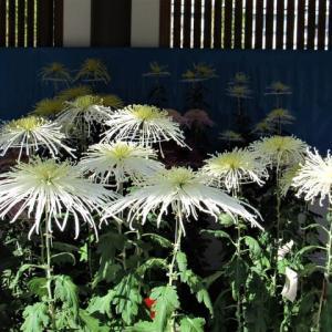 湯島天神菊祭り ・・・ 盆養仕立て / 7本仕立て / ダルマ仕立て。
