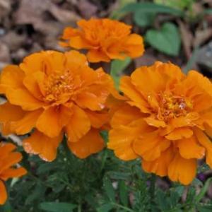 マリーゴールド / シュウメイギク (秋明菊) の花散歩
