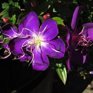 シコンノボタン / キゥイフルーツ の花と果実