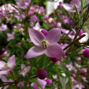 ボロニア・ピナータ & ヒイラギナンテン の花散歩