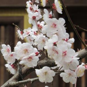 湯島天神の梅 の花散歩