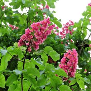 ベニバナトチノキ / ノアザミ / ハナショウブ /アジサイ の花散歩