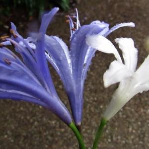梅雨時の小雨に咲く花・アガパンサス、ミソハギ の花散歩