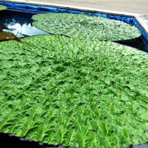 水生植物 ・・・ オニバス、ヒシ、ハス、の花散歩