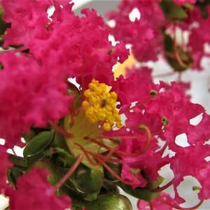 サルスベリ (百日紅)の花散歩