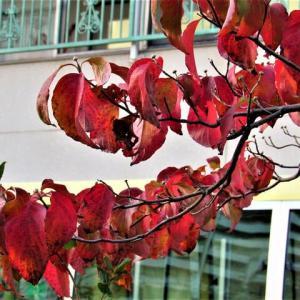 ハナミズキの紅葉 とナワシログミ / ムラサキゴテン
