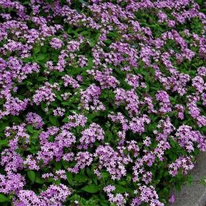 冬越し?、ペンタス の花散歩
