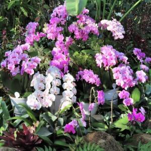 植物園のラン と 自宅のラン