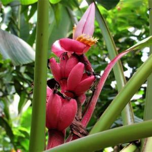 ピンクバナナとチュウキンレイ(地湧金蓮)の花散歩