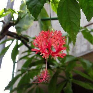 個性的な花姿