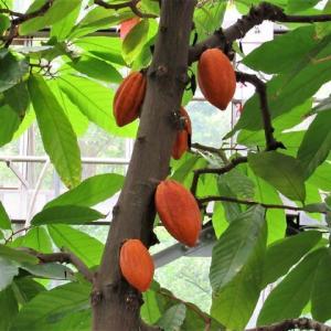 カカオノキ 花と果実