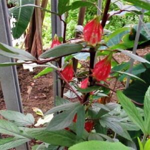 ローゼルソウ・種子と花