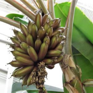 アカバナナとピンクバナナ