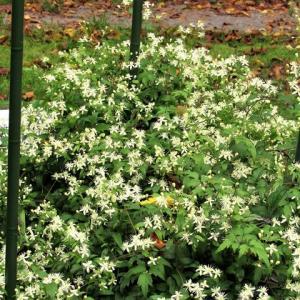 コボタンヅル(小牡丹蔓) の花散歩