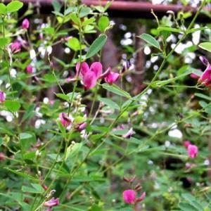 ヤマハギ(山 萩) の花散歩
