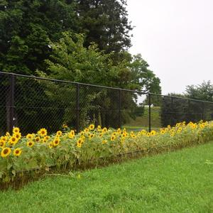 自動車研究所に沿ってヒマワリが一列に咲ききれいです!