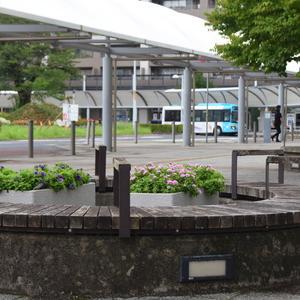 駅前に植えたニチニチソウがまた枯れてしまった!