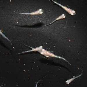 冬に備えて 秋に産まれた稚魚たち