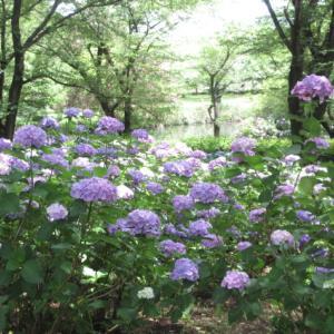 紫陽花のある公園。
