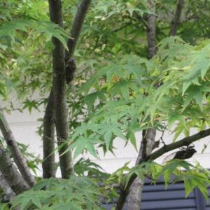 庭の様子。蝉時雨とツマミダケ。