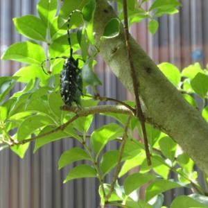 庭の虫、カミキリムシとスズメガ。