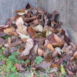 落ち葉の片づけ。