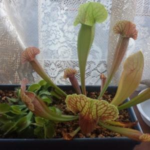 サラセニア 何かの交配種 食虫植物58