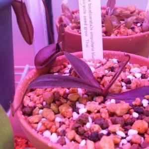 新しいネペンテスの植え替え 食虫植物53