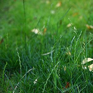 稲のような芝生と、生きる工夫。
