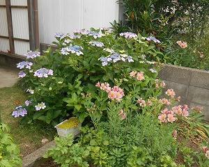 自宅のアジサイが6種類咲きました!