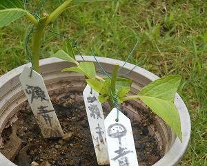 今年挿したアジサイの脇芽が出ました。