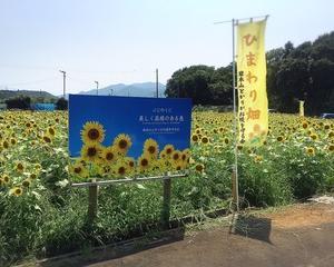 【富士市】今が見ごろ! 岩本山のひまわり畑