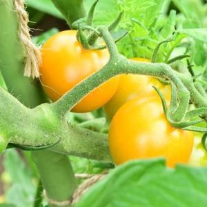 ミニトマトが豊作