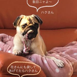 ハクさん...pug and  poodle ワタチが Jerryだよニャ❓の巻き