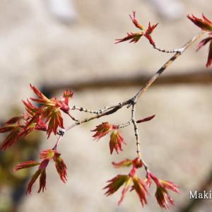 滝桜の孫がやって来た