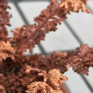 挿し穂石化ヒノキ、夏の水切れで2鉢も枯死