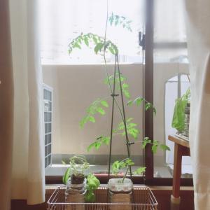 終了させたい水耕栽培、ミニトマトどうする?
