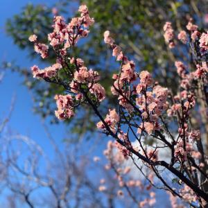 羽根木公園の寒梅 春を待つ世田谷の風物詩