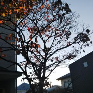 夕陽に映える紅葉