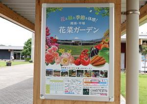平塚★花菜ガーデンは蓮が見頃です!