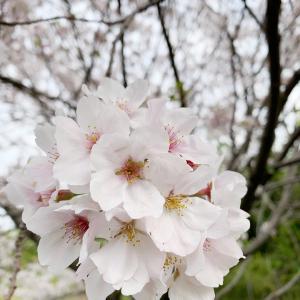 桜と青空とかめさん@みちくさんぽ
