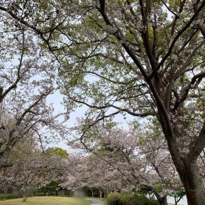お母さん、暖かい春のいちにちです@桜