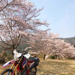 平成31年春 桜 4/7  多可・丹波