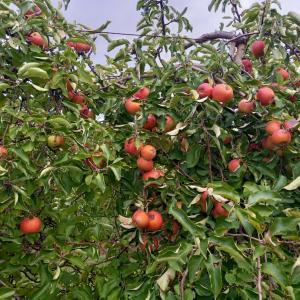 フランス田舎でりんご狩り♪