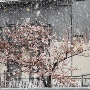桜満開前に雪⛄