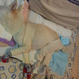 寝たきり老犬の胃拡張